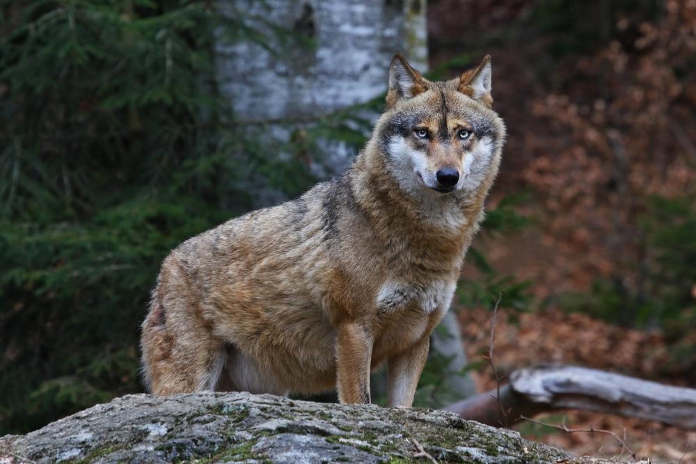 Animale sălbatice -Lupul