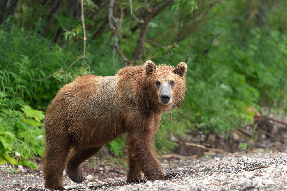 Animale sălbatice - ursul