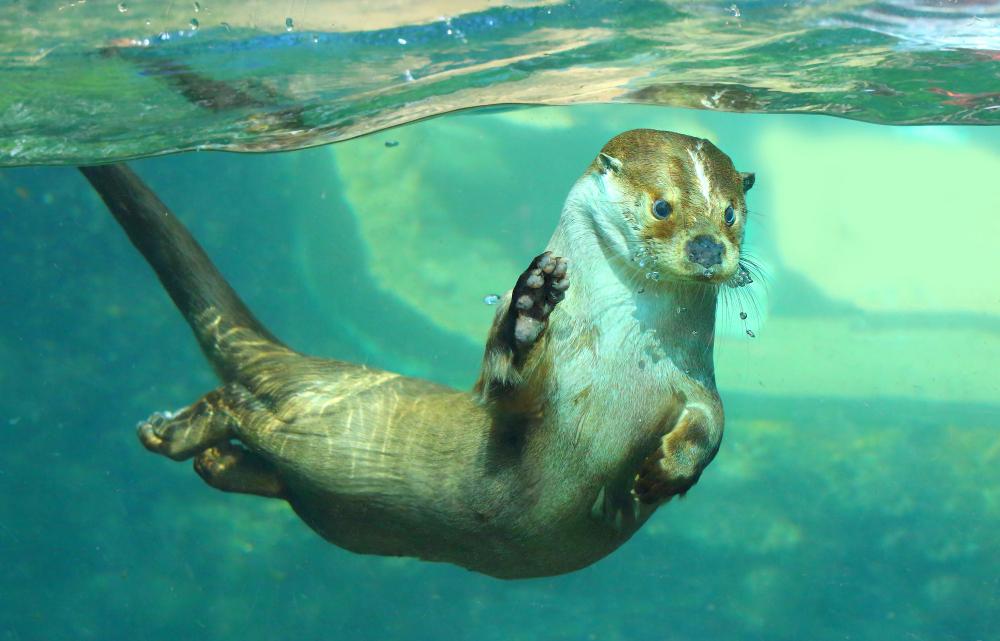 Animale sălbatice-vidra