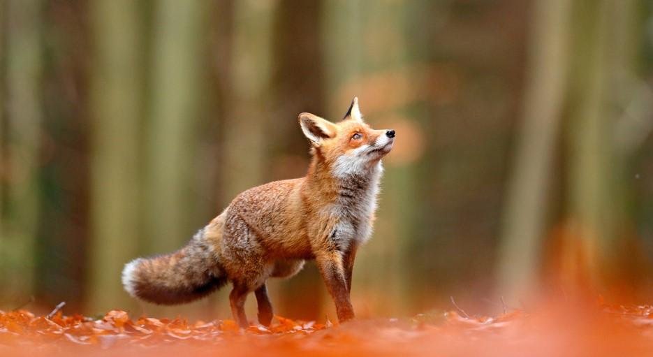 Animale sălbatice- vulpea