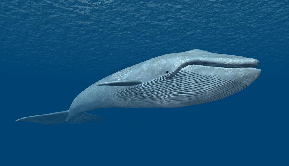 Animale pe cale de dispariție - Balena albastră