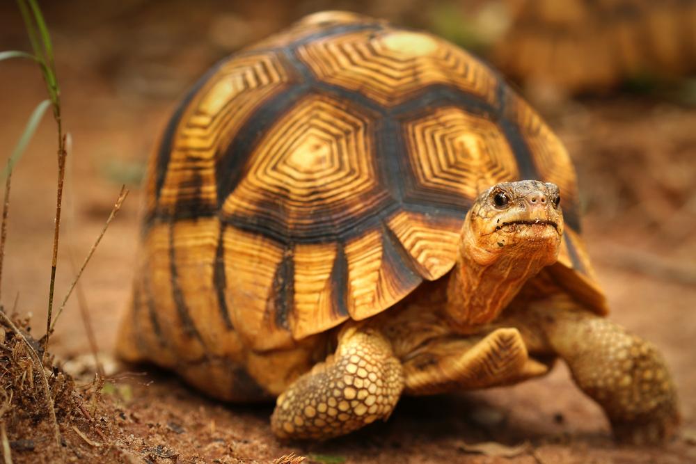 Animale pe cale de dispariție- Testoasa Ploughshare