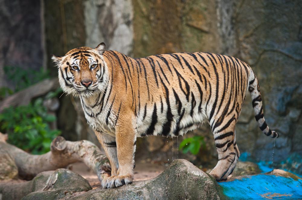 Animale pe cale de dispariție- Tigrul Sumatran