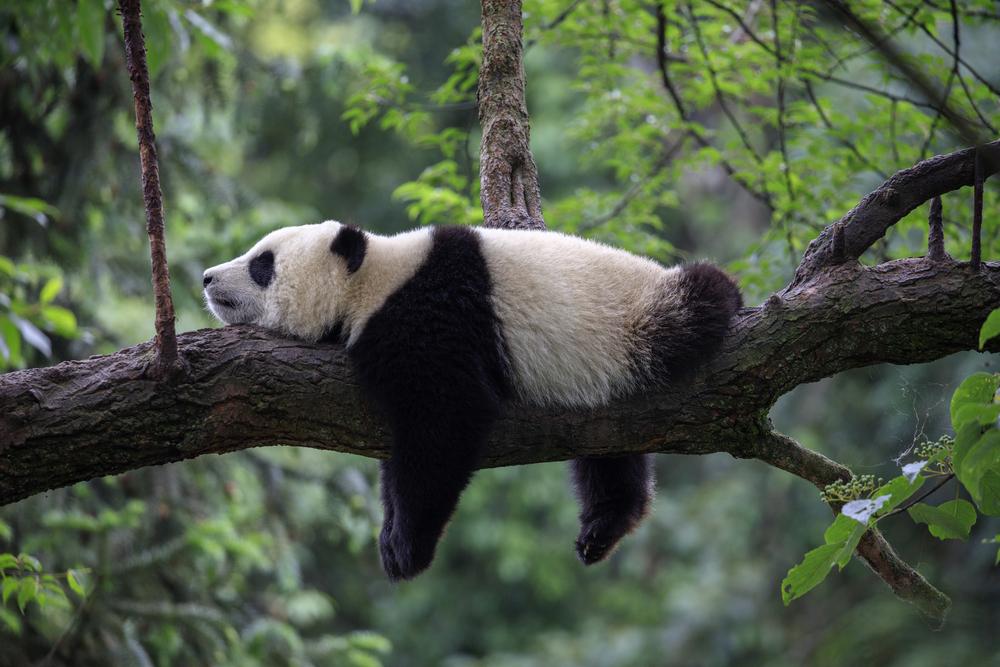 Animale pe cale de dispariție -Ursul Panda